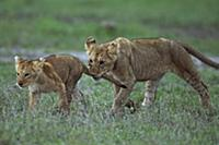 African Lion (Panthera leo) yearling cub playing w
