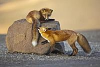 Red Fox (Vulpes vulpes) siblings playing, Denali N
