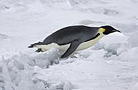 Emperor Penguin (Aptenodytes forsteri) adult, tobo