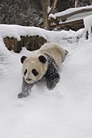 Giant Panda (Ailuropoda melanoleuca) six month old