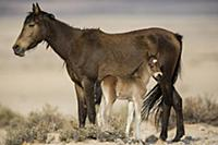 Namib Desert Horse (Equus caballus) mother and new