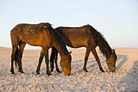 Namib Desert Horse (Equus caballus) pair grazing i