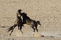Namib Desert Horse (Equus caballus) stallions figh