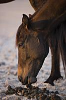 Namib Desert Horse (Equus caballus) feeding on its