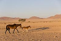 Namib Desert Horse (Equus caballus) mother and foa