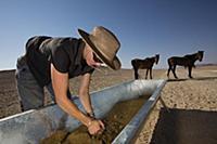 Namib Desert Horse (Equus caballus) conservationis