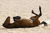 Namib Desert Horse (Equus caballus) dust bathing,