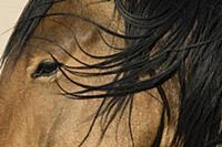 Namib Desert Horse (Equus caballus), Namib-Naukluf