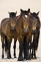 Namib Desert Horse (Equus caballus) trio, Namib-Na