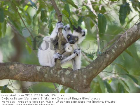 Сифака Верро (Verreaux's Sifaka) или Хохлатый Индри (Propithecus verreauxi) играет с хвостом. Частный заповедник Беренти (Berenty Private Reserve), Мадагаскар (Madagascar).