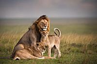 Семья африканских львов (Panthera Leo). Заповедник
