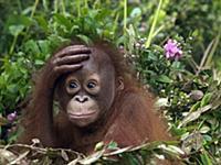 Орангутанг (Pongo pygmaeus) держит руку на лбу, Бо