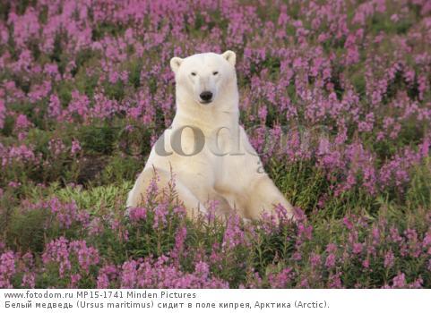 Белый медведь (Ursus maritimus) сидит в поле кипрея, Арктика (Arctic).