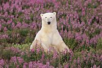 Белый медведь (Ursus maritimus) сидит в поле кипре