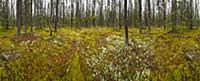 Boreal forest with thick moss and lichens on fores