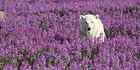 Polar Bear (Ursus maritimus) in a field of Firewee
