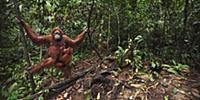 Sumatran Orangutan (Pongo abelii) twenty-two year