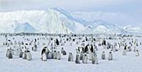 Emperor Penguin (Aptenodytes forsteri) colony, Ant
