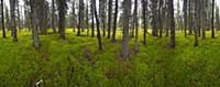 Black Spruce (Picea mariana) grove, Denali Nationa