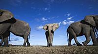 African Elephant (Loxodonta africana) trio, Masai
