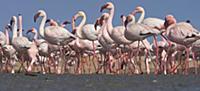 Lesser Flamingo (Phoenicopterus minor) flock, Walv