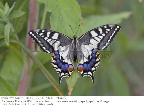 Бабочка Махаон (Papilio machaon). Национальный парк Норфолк Бродз (Norfolk Broads), Англия (England).
