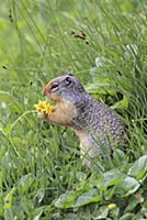 Columbian Ground Squirrel (Spermophilus columbianu