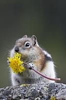 Golden-mantled Ground Squirrel (Callospermophilus