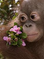 Orangutan (Pongo pygmaeus) young holding pink flow