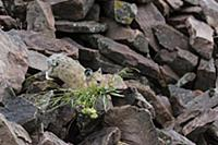 American Pika (Ochotona princeps) collecting veget