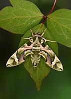 Природное разнообразие мотыльков