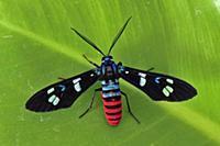 Forester Moth (Zygaenidae), Tangkoko Nature Reserv