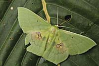 Looper Moth (Aporandria specularia), Gunung Penris