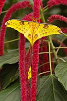 Madagascar Moon Moth (Argema mittrei) on flower, F