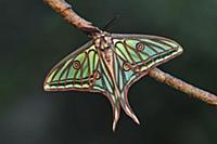 Spanish Moon Moth (Graellsia isabellae) male, Swit