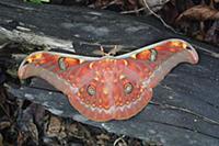 Saturniid Moth (Antheraea larissa), Lundu, Sarawak