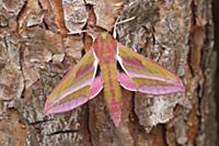 Elephant Hawk Moth (Deilephila elpenor) on Scotch