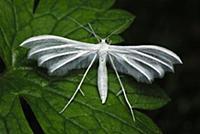 White Plume Moth (Pterophorus pentadactyla), Switz