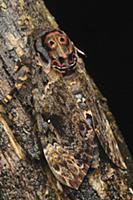 Death's Head Hawk Moth (Acherontia lachesis) camou