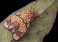 Moth (Barsine euprepia), Mount Kinabalu National P