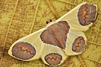 Geometer Moth (Plutodes flavescens), Mount Kinabal