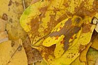 Tent Caterpillar Moth (Chrysopsyche lutulenta) cam