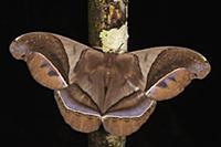 Saturniid Moth (Saturniidae), Yasuni National Park