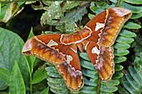 Saturniid Moth (Rothschildia orizaba), Septimo Par