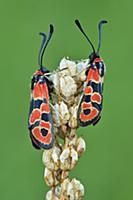 Auspicious Burnet (Zygaena fausta) moth pair, Swit