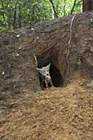 Wolf (Canis lupus) pup in den with prey, Tver, Rus