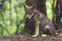 Wolf (Canis lupus) pup, Tver, Russia