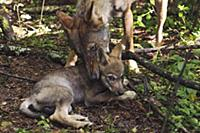Wolf (Canis lupus) mother picking up pup, Tver, Ru