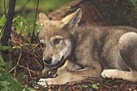 Wolf (Canis lupus) pup feeding on snake prey, Tver