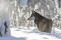 Wolf (Canis lupus) in snow, Tver, Russia